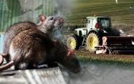 farm rats